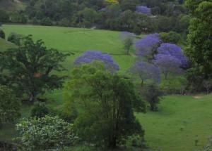 Reisetipp Australien: Das Hinterland der Gold Coast mit blühendem Jacaranda