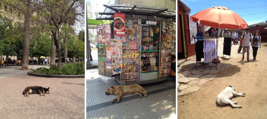 Straßenhunde in Chile