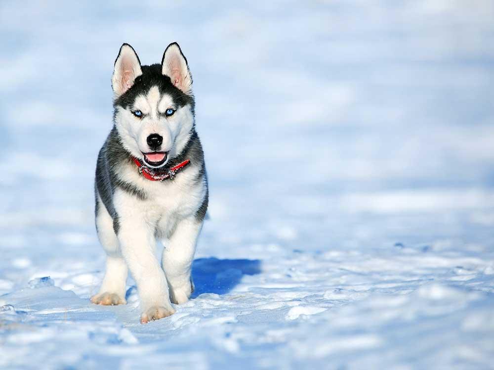 Hundeschlitten fahren in Schweden